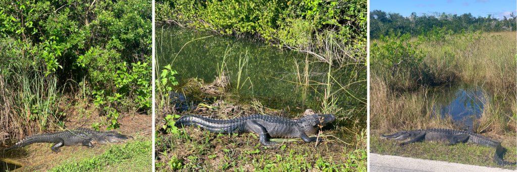 Alligators on Shark Valley Trail, Everglades National Park