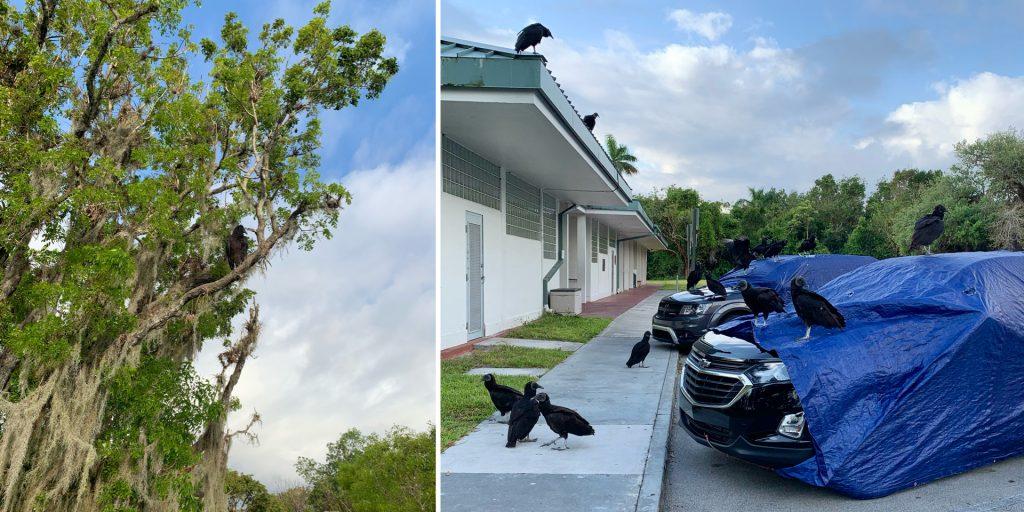 Vultures at Royal Palm Parking Lot, Everglades National Park